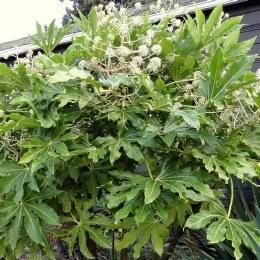 Fatsia japonica - False Castor Oil Plant