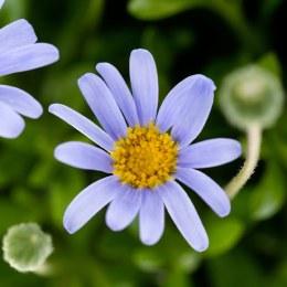 Felicia Felicitara Blue 10.5cm