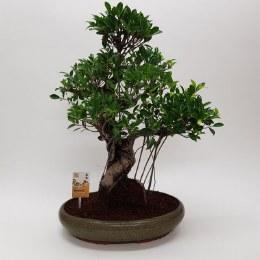 Bonsai Ficus 'Retusa' Indoor in 40cm Ceramic Pot