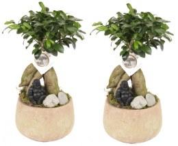 Bonsai Ficus microcarpa 'Ginseng' with Buddha