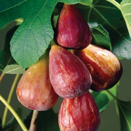 Fig Tree 'Brown Turkey' | Ficus Carica Brown Turkey