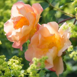 Fighting Temeraire David Austin Fragrant Rose 6 Litre