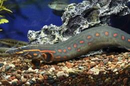 """Fire eel 2"""""""