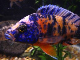 Aulonocara Orange Blotch Peacock - Medium