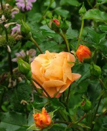 Flower Carpet Amber Ground Cover Rose - Repeat Flowering