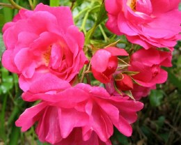 Flower Carpet Rose Pink - Standard Rose - Repeat Flowering - 10 Litre