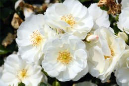 Flower Carpet White Ground Cover Rose - Repeat Flowering