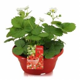 Strawberry | Fragaria 'Beltran' in 23cm bowl