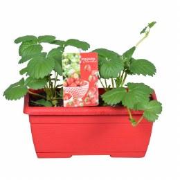 Strawberry | Fragaria 'Beltran' in 25cm Windowbox
