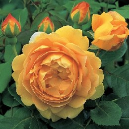 Golden Celebration David Austin Rose - 4 Litre