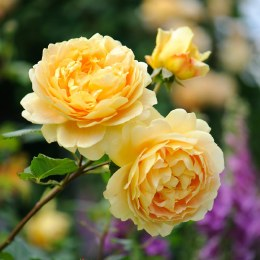Golden Celebration David Austin Fragrant Rose 5 Litre
