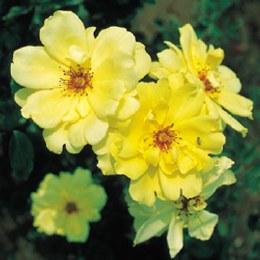 Golden Showers Climbing Rose - 3 Litre