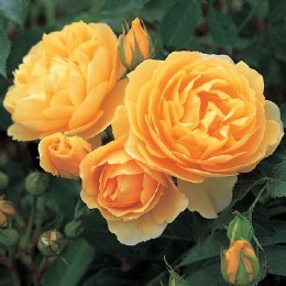 Graham Thomas David Austin Shrub Rose - 5 Litre