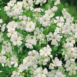 Gypsophila White