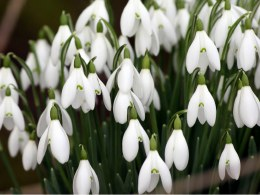 Galanthus Nivalis | Snowdrops Pack of 12