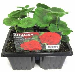 Geranium Cardinal 6 pack
