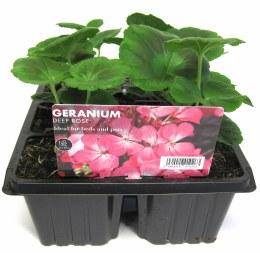 Geranium 6 Pack Deep Rose