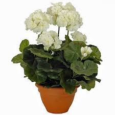 Geranium Cream in Pot Campana Terra