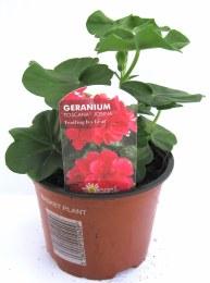 Geranium Ivy Leaf  Mixed Colours 10cm