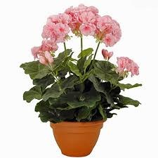 Geranium Pink in Pot Campana Terra