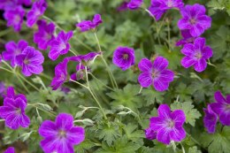 Geranium Russell Prichard