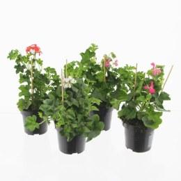 Geranium Trailing Mixed | Pelargonium peltatum Ivy Geranium