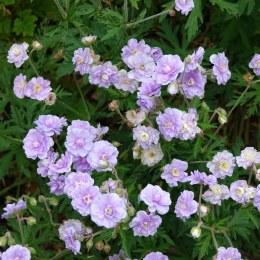 Geranium prat. 'Summer Skies'