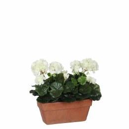 Geranium White  Balcony Tray Terra