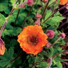 Geum 'Tempo Orange'