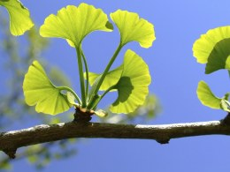 Ginkgo biloba | Maidenhair Tree