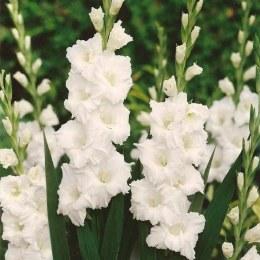 Gladioli Paloma Blanca