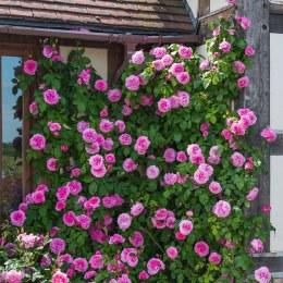 Gloriana Climbing Rose 5 Litre