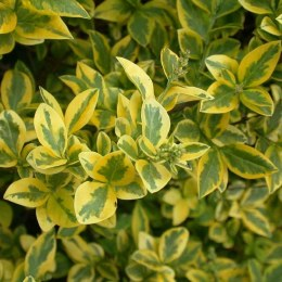 Golden Privet Hedging | Ligustrum ovalifolium Aureum- 2 Litre 60cm