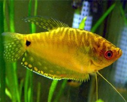 Gourami Golden Medium