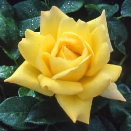 Grandpa Dickson Hybrid Tea Rose - 5.5 Litre