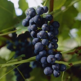 Grape 'Boskoop Glory' | Vitis vinifera 'Boskoop Glory'