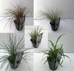 Grasses in varities 1 Litre pot