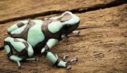 Green and Black Poison Dart Frog El Cope