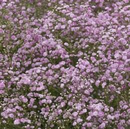 Gypsophila Pink Festival 2 Litre
