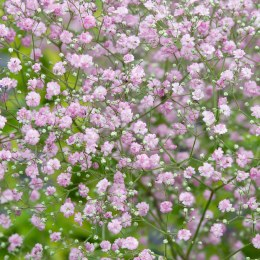 Gypsophilla duo pink & white in 13cm pot