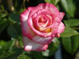 Handel Climbing Rose - 5.5 Litre