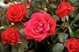 Ruby Wedding Hybrid Tea Rose - 4.5 Litre