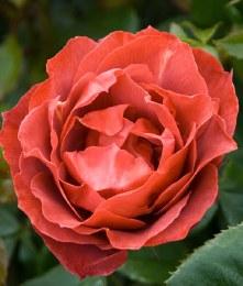 Hot Chocolate Floribunda Rose - 3 Litre