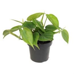 HabiStat Live Plants Climbers