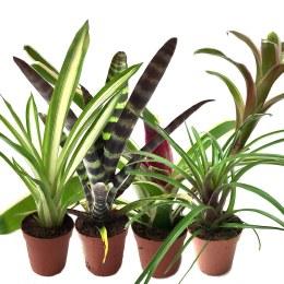Live Reptile Plant Bromeliad