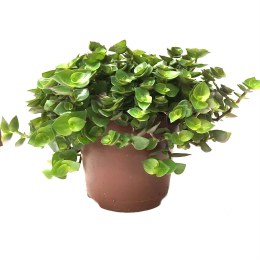 HabiStat Edible Plants  Turtle Vine (Callisia repens)