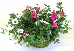 "Hanging Basket 14"" with Surfinias, Fuchsia, Bacopa & Verbena  Mix"