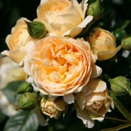 Happy Birthday Hybrid Tea Rose  5.5 Litre