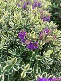 Hebe andersonii variegata 5 Litre