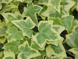 Hedera Helix Goldchild Ivy